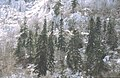 Calcareous fir forest.jpg