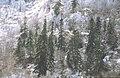 Calcareous fir forest.jpg
