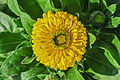 Calendula officinalis 27122014 (4).jpg