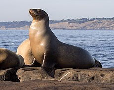 California sea lions in La Jolla (70552)b.jpg