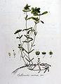 Callitriche verna — Flora Batava — Volume v8.jpg