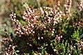 Callune - Calluna vulgaris.jpg