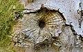 Callus growth on Acer pseudoplatanus bark, Ballochmyle, East Ayrshire.jpg