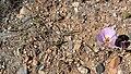 Calochortus flexuosus 10.jpg