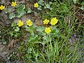 Caltha palustris003.jpg