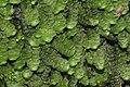 Calypogeia muelleriana (b, 144823-474711) 6130.JPG