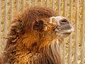 Camel@LondonZoo.jpg