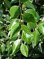 Camellia lutchuensis - Wilhelma Zoo - Stuttgart, Germany - DSC01915.jpg