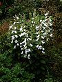 Campanula latifolia alba - Flickr - peganum (4).jpg