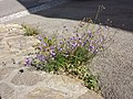 Campanula rotundifolia sl22.jpg