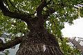 Camphor tree in Hongō, Tokyo 201504 02.jpg