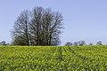 Campo de colza en Roma, Gotland.jpg