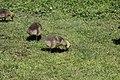 Canada goose - Branta canadensis (41259983974).jpg