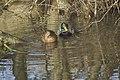 Canard colvert (Anas platyrhynchos) - 6001.jpg