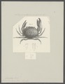 Cancer convexus - - Print - Iconographia Zoologica - Special Collections University of Amsterdam - UBAINV0274 094 14 0022.tif