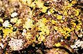 Candelariella efflorescens-3.jpg