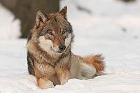 Canis lupus.jpg
