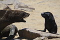 Cape Cross Seal Colony confrontation.jpg