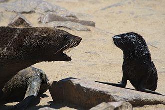 Cape Cross - A confrontation at the Cape Cross seal colony