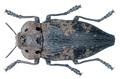 Capnodis miliaris (Klug, 1829).png