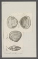 Capsa spec. - - Print - Iconographia Zoologica - Special Collections University of Amsterdam - UBAINV0274 078 13 0006.tif