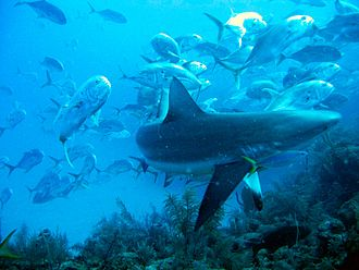 Crevalle jack - A school of crevalle jack swarming around a Caribbean reef shark