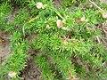Cardionema ramosissimum 1.jpg