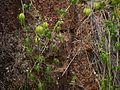 Cardiospermum halicacabum (8595922768).jpg
