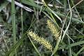 Carex baileyi NRCS-1.jpg