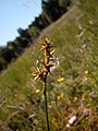 Carex echinata inflorescens (03).jpg