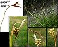 Carex pallescens (2).jpg