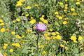 Carmel Flora - Hai-Bar Nature Reserve IMG 0795.JPG