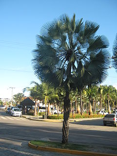 <i>Copernicia alba</i> species of plant