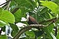 Caroline Islands Ground-Dove.jpg