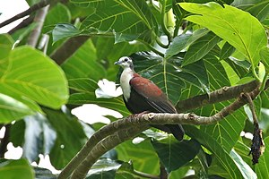 Caroline Islands Ground-Dove.jpg