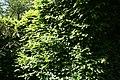 Carpinus betulus 35zz.jpg