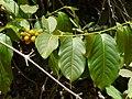 Casearia graveolens (3495667583).jpg