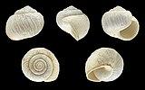 Caseolus bowdichianus 01.JPG