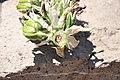 Castnia psittachus en Puya alpestris ssp zoellnerii.jpg