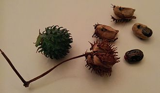 Ricinus - The green capsule dries and splits into three sections, forcibly ejecting seeds