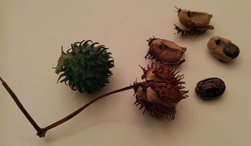File:Castor oil plant seeds.jpg