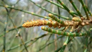 Casuarina glauca - closeup of new growth, showing segmented branchlets with tiny brown teethlike leaves at nodes of segments