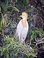 Cattle Egret in Breeding Plumage2.jpg