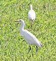 Cattle Egrets (30339067190).jpg
