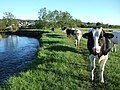 Cattle beside River Axe - geograph.org.uk - 440594.jpg