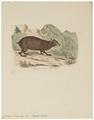 Cavia acouchy - 1700-1880 - Print - Iconographia Zoologica - Special Collections University of Amsterdam - UBA01 IZ20600119.tif