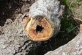 Cavités dans des bûches de peuplier blanc (29).JPG