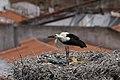 Cegonha Branca ( Ciconia ciconia ) 19 (48309231071).jpg