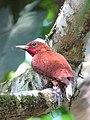Celeus loricatus Carpintero canelo Cinnamon Woodpecker (male) (12180306264).jpg