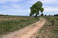 Celtis australis, Castelnau-de-Guers, Hérault.jpg